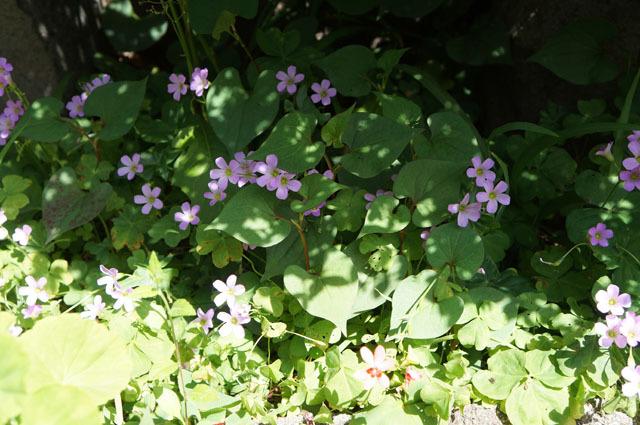 お庭の小さい花 (1).JPG