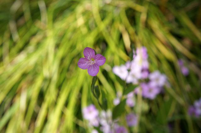 お庭の小さい花 (2).JPG