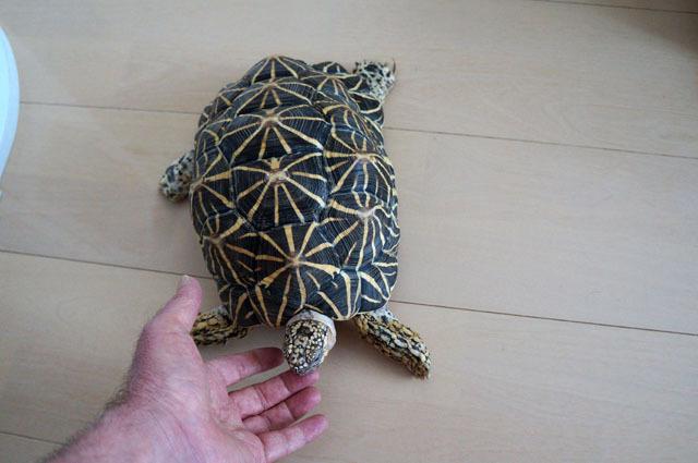 ホシガメ (2).JPG
