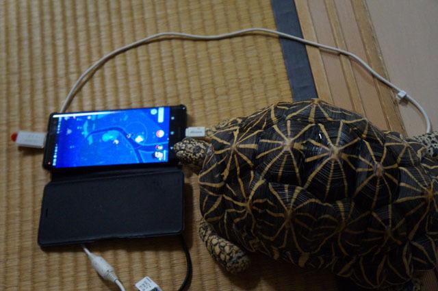 ポケモンGOを見るホシガメ.JPG