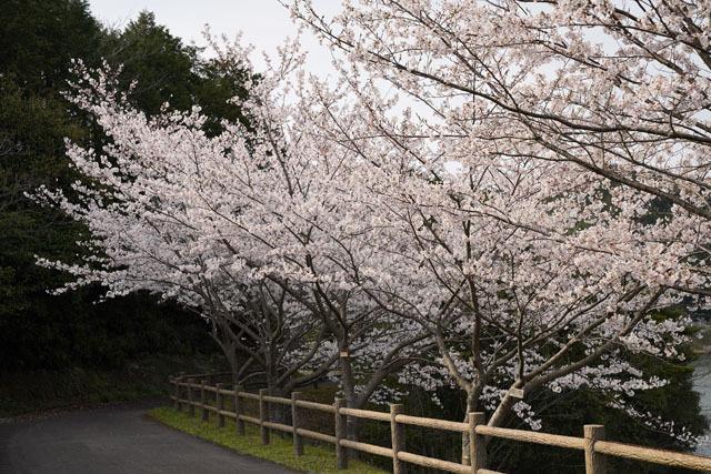伊佐ノ浦公園 桜 (17).JPG
