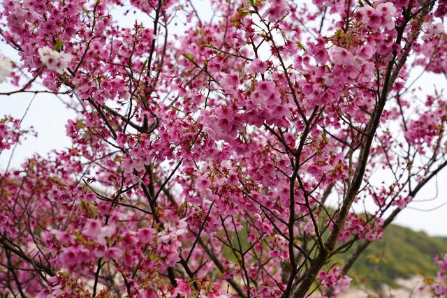 伊佐ノ浦公園 桜 (18).JPG