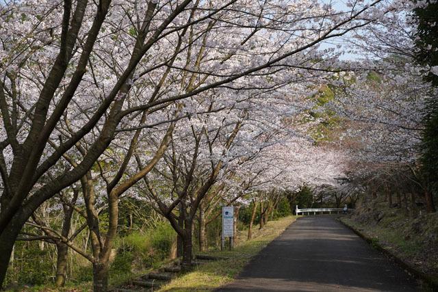 伊佐ノ浦公園 桜 (8).JPG