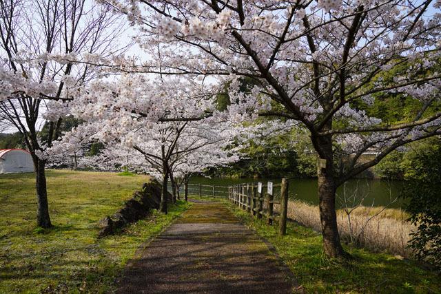 伊佐ノ浦公園 桜 (9).JPG
