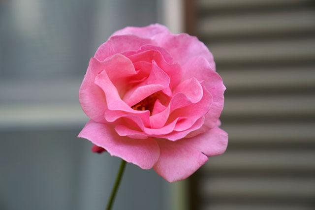実家の花 (7).JPG