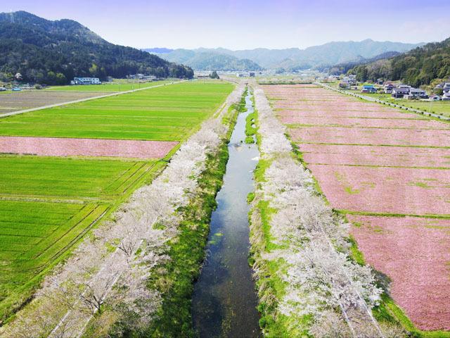 桜並木とレンゲ畑-640.jpg