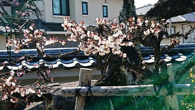 梅の花 (2).JPG