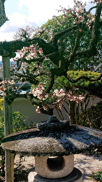 梅の花 (3).JPG