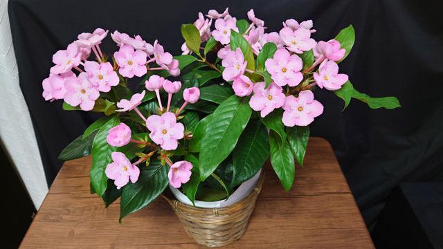 花鉢 におい桜 (1).JPG