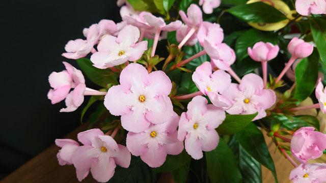 花鉢 におい桜 (2).JPG