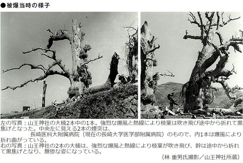 被爆当時の被爆クスノキ.jpg