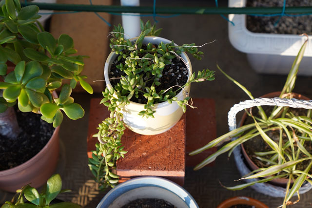 鉢植え (5).JPG