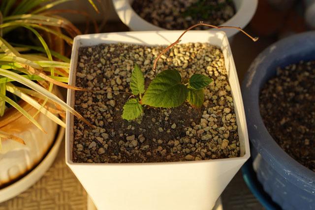 鉢植え (6).JPG