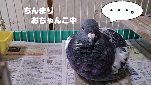 鳩.jpg